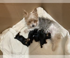 Yorkshire Terrier Litter for sale in RUSH, KY, USA