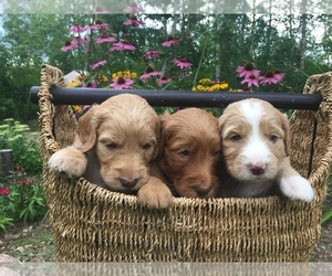 Irish Doodle Litter for sale in WHITE LAKE, WI, USA
