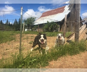 Border Collie Litter for sale in WHITE SALMON, WA, USA