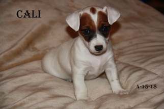 Jack Russell Terrier Puppy For Sale in ELIZABETH, CO, USA