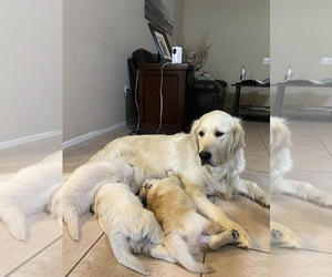 Golden Retriever Litter for sale in BEAUMONT, CA, USA