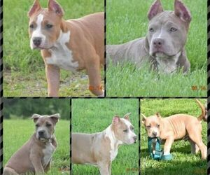 American Bully Litter for sale in SAXONBURG, PA, USA