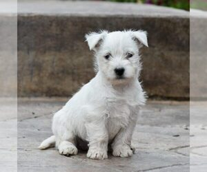 West Highland White Terrier Litter for sale in MILLERSBURG, PA, USA