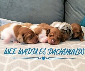 Dachshund Litter for sale in WALLACE, CA, USA