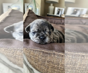 French Bulldog Litter for sale in CERES, CA, USA