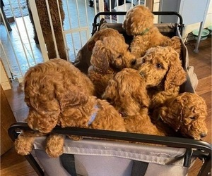 Poodle (Standard) Litter for sale in BENTON HARBOR, MI, USA