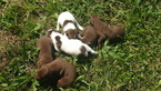 German Shorthaired Pointer Puppy For Sale in SAND LAKE, MI, USA