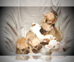 Bulldog Litter for sale in MODESTO, CA, USA