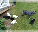 Texas Heeler Puppy For Sale in FLOYD, VA, USA