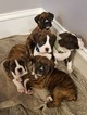 Boxer Puppy For Sale in LIGONIER, IN, USA