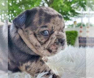 French Bulldog Litter for sale in PORT READING, NJ, USA