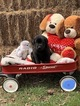 Labrador Retriever Puppy For Sale in FOREST HILL, MD, USA