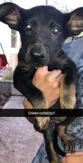 German Shepherd Dog Litter for sale in CHIEFLAND, FL, USA