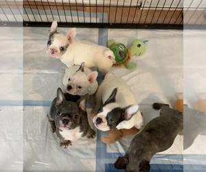 French Bulldog Litter for sale in LOS ANGELES, CA, USA