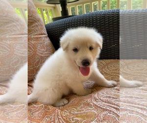 German Shepherd Dog Litter for sale in ZEBULON, NC, USA