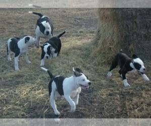 Medium American Bulldog