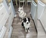 Small Australian Shepherd-Siberian Husky Mix