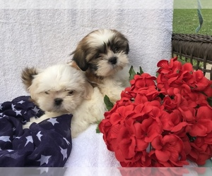 Shih Tzu Litter for sale in BOWLING GREEN, KY, USA