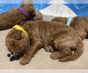 Goldendoodle-Poodle (Miniature) Mix Litter for sale in HIALEAH, FL, USA