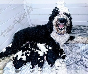Sheepadoodle Litter for sale in FLINT, TX, USA
