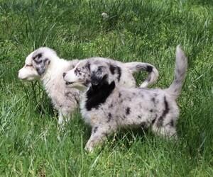 Australian Shepherd Litter for sale in CONYERS, GA, USA