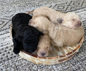 Goldendoodle Litter for sale in PLYMOUTH, NC, USA