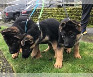 German Shepherd Dog Litter for sale in DAMASCUS, OR, USA