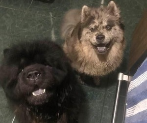 Chow Chow Litter for sale in BROOKSVILLE, FL, USA