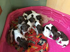 German Shorthaired Pointer Puppy For Sale in CINCINNATI, OH, USA