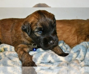 Soft Coated Wheaten Terrier Litter for sale in DEER LODGE, MT, USA
