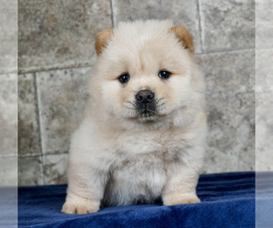 Chow Chow Litter for sale in NORTH WEBSTER, IN, USA
