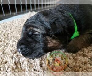German Shepherd Dog Litter for sale in BROOKSVILLE, FL, USA
