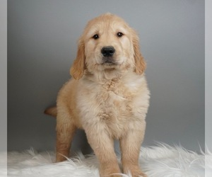 Golden Retriever Litter for sale in WARSAW, IN, USA