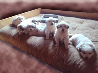 Great Pyrenees Litter for sale in ASH FORK, AZ, USA