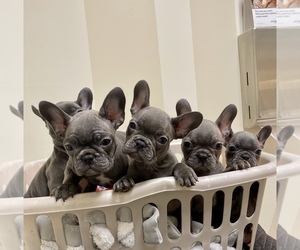 French Bulldog Litter for sale in SAN DIEGO, CA, USA