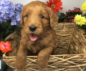 Goldendoodle Litter for sale in ANDERSON, CA, USA