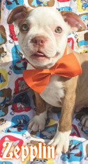 Boston Terrier Litter for sale in EAST EARL, PA, USA
