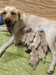 Labrador Retriever Puppy For Sale near 95215, Stkn, CA, USA