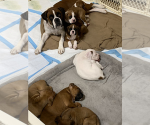 Boxer Litter for sale in COMO, TX, USA