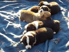 Pembroke Welsh Corgi Puppy For Sale in KINGSTON, NY, USA