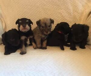 Schnauzer (Miniature) Litter for sale in KNIGHTSTOWN, IN, USA