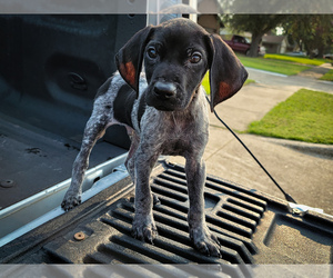 German Shorthaired Pointer Litter for sale in MESQUITE, TX, USA