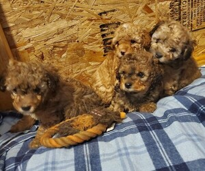 Poodle (Toy) Litter for sale in VANCOUVER, WA, USA
