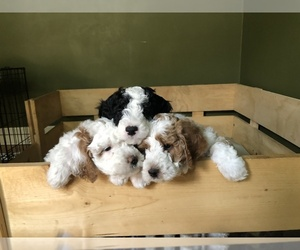 Poodle (Toy)-Sheepadoodle Mix Litter for sale in PROVO, UT, USA