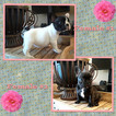 French Bulldog Puppy For Sale in MANTECA, CA, USA