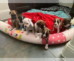 Boxer Litter for sale in PLANO, TX, USA