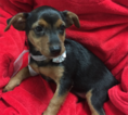 Jack Russell Terrier Puppy For Sale in FREDERICK, MD, USA