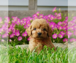 Goldendoodle Litter for sale in NAPPANEE, IN, USA