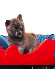 Alaskan Klee Kai-Pomeranian Mix Litter for sale in LOS ANGELES, CA, USA