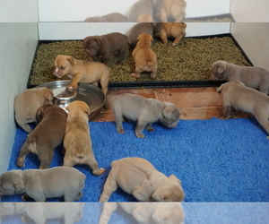 Olde English Bulldogge Litter for sale in MURRAY, KY, USA
